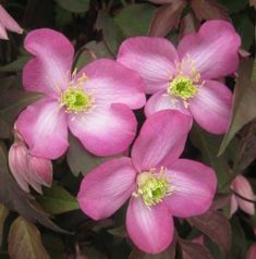 montana Freda available from Taylors Clematis Small Flowers, Pink Flowers, Clematis Montana, Plant Information, Colour Pallete, Back Gardens, Plant Care, Old Pictures, Garden Projects