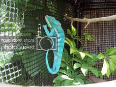 I finished making Chameleo Estevez a cage this weekend. It actually took me a couple weeks to make, but I had to go out of town, let it dry, etc. Chameleon Craft, Baby Chameleon, Veiled Chameleon, Chameleon Nails, Reptiles, Chameleon Enclosure, Diy Bird Cage, Panther, Chalk Lettering