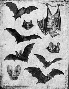 Illustration of bats Murcielago Animal, Totenkopf Tattoos, Desenho Tattoo, Creatures Of The Night, Gothic Horror, Vintage Halloween, Dark Art, Art Inspo, Art Reference