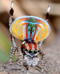 une araignée Maratus volans en Australie  photos-incroyables-24