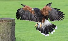 https://flic.kr/p/B83Yvo   Harris Hawk   Taken at the ICBP in Helmsley, Yorkshire. Cold, very dull and showery. 1/1000s at ISO 6400.
