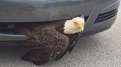bald eagle 109A