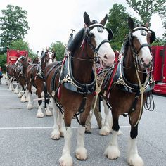 The Budweiser Clydesdales Clysdale Horses, Draft Horses, Budweiser Commercial, Horse Wagon, Horse Wallpaper, Horse And Buggy, Winter Painting, Horse Farms, Horse Breeds