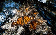 Santuarios de la mariposa monarca en México