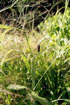 Eryngium ebracteatum & Panicum elegans 'Frosted Explosion'