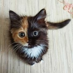 "Meet Yana, the two-faced cat! This fascinating feline has cells from different zygotes, resulting in a unique coloring and ""two-faced"" appearance. Pretty Cats, Beautiful Cats, Animals Beautiful, Beautiful Pictures, Gorgeous Eyes, Beautiful Flowers, Cute Funny Animals, Cute Baby Animals, Animals And Pets"