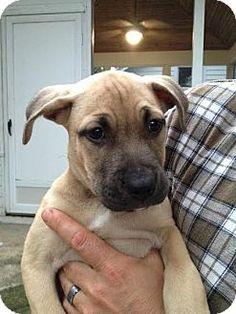 PLAINFIELD, IN - Mastiff/Shepherd (Unknown Type) Mix. Meet Zelda, a puppy for adoption. http://www.adoptapet.com/pet/13707707-plainfield-indiana-mastiff-mix