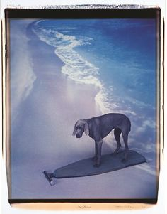 "William Wegman ""Surfline"" 1991. Polaroid polacolor II photograph.  In addition to gallery and museum exhibitions, Wegman and his dogs have made appearances on The Tonight Show, Good Morning America, MTV, Sesame Street, Saturday Night Live, and in Gap clothing store ads.  He as also published versions of Cinderella and Little Red Riding Hood, in which the dogs appear as the well-known characters."
