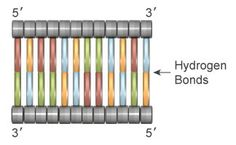 Double-stranded DNA consists of two polynucleotide chains whose nitrogenous bases are connected by hydrogen bonds. Within this arrangement, each strand mirrors the other as a result of the anti-parallel orientation of the sugar-phosphate backbones, as well as the complementary nature of the A-T and C-G base pairing.