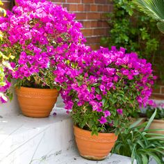 44 Best Shrubs for Containers Bougainvillea in a pot Beautiful ever blooming shrub requires almost no care. Grows in tropical or sub tropical areas in full sun. Not susceptible to many pests and diseases. Garden Shrubs, Flowering Shrubs, Garden Pots, Garden Web, Climbing Flowers, Climbing Vines, Container Plants, Container Gardening, Vegetable Gardening