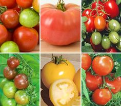 Early Pickers Tomato Collection, for cold climates