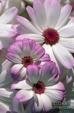 pink and white daisy-type flowers Gaia's Grace - Facebook