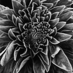 Velvet Leaved Plant by Brett Weston Interaction of the negative and positive space