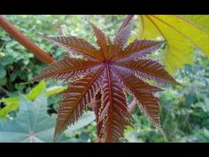 Castor Oil Plant || Guinness World Record Holder || Know Why - Stuffed Magazine