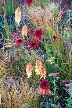 Hot planting of Echinacea 'Eccentric', Imperata cylindrica 'Red Baron', Pennisetum thunbergii 'Red Buttons' and Echinacea 'Tomato Soup'.