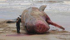 Sperm whale body stuns, draws crowd in Uruguay https://www.facebook.com/likeprimescuba