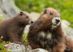 Vancouver Island, BC. Adult and pup marmots, brought back from extinction in the wild. by Jared Hobbs