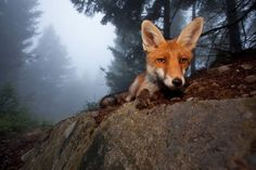 Sophie the Fox, photo taken by Klaus Echle, a ranger in the Black Forest, who slowly made friends with this lovely forest creature.  Ranger Echle won the Fritz Polking Award for these magical photographs.