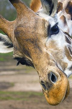 Giraffe ~ what eyes. Animals And Pets, Baby Animals, Funny Animals, Cute Animals, Baby Giraffes, Wild Animals, Giraffe Pictures, Animal Pictures, Beautiful Creatures