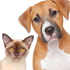 Pet Stain Removal - Rug Doctor Experts