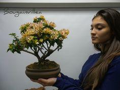 Amazing bonsai trees in custom handmade one of a kind bonsai pots Bougainvillea, Bonsai, Miami, Tropical, Amazing, String Garden