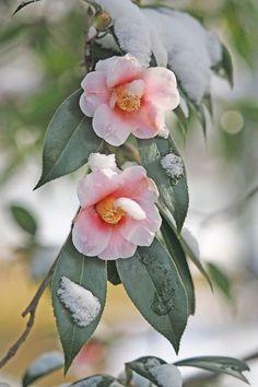 Exotic Plants, Shade Plants, Zinnias, Wonders Of The World, Magnolia, Beautiful Flowers, Bloom, Japan, Watercolor