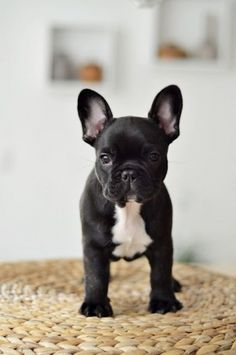 French Bulldog Puppy / Pet Photography / Dog / Frenchie