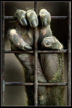 """""""Dar uma mão. Este não é um grito para você destruir o jardim zoológico da cidade, apenas uma expressão do que eu continuo sentindo em uma visita a um jardim zoológico, olhando nos olhos dos animais. Isso é como me sinto, embora em alguns casos, viver em cativeiro salva suas vidas. Que tipo de vida é essa para eles? ... """" Centro Zoológico de Tel Aviv (Safari Ramat Gan), Israel.  Texto e fotografia:  Gilad Benari.  http://photo.net/photodb/photo?photo_id=3618843"""