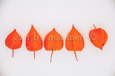 Physalis Chinese Lanterns Winter cherry Husk by maomeiiphotography