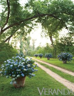 furlow gatewood hydrangeas in pots   Man, that must be a lot of work.  All day, every day...watering. pretty though.