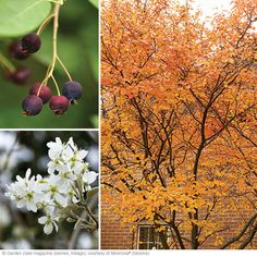 Service berry -clay tolerant flowering tree for full sun or partial shade. Maybe in the front yard. Shade Garden Plants, Garden Trees, Sun Plants, Deciduous Trees, Flowering Trees, Trees And Shrubs, Trees To Plant, Service Berry Tree, Specimen Trees