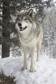 Timber Wolf in Winter.