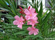 A espirradeira e um arbusto ou arvoreta, pertence à família Apocynaceae, nativa do mediterrâneo, perene, com 3-5 metros de altura, muito ramificado e .......