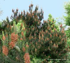 Pinus contorta 'Spains Dwarf'