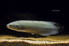 "The African arowana, Heterotis niloticus, is a species of bonytongue. Despite being called an ""Arowana"", the African arowana is more closely related to Arapaima gigas, the only other member in the subfamily Heterotidinae. It has been reported to reach up to 100 cm (39 in) SL and weigh up to 10.2 kg (22 lb). African arowanas have air-breathing organs on its branchiae, enabling them to survive in oxygen-depleted water."