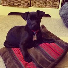 Our baby boy Milo the Patterdale Terrier @ 10 weeks