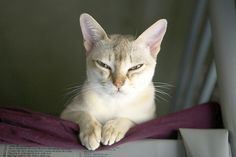 [Feline The Singapura - Singapura Cat - ideas of Singapura Cat - [Feline The Singapura The post [Feline The Singapura appeared first on Cat Gig. I Love Cats, Cute Cats, Funny Cats, Singapura Cat, Abyssinian, Cat People, Beautiful Cats, Cat Breeds, Animal Kingdom