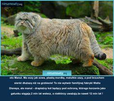 oto Manul. Ma oczy jak sowa, płaską mordkę, malutkie uszy, a pod brzuchem sierść dłuższą niż na grzbiecie! To nie wytwór familijnej fabryki Walta Disneya, ale manul - drapieżny kot będący pod ochroną, którego korzenie jako gatunku sięgają 2 mln lat wstecz, a niektórzy uważają że nawet 12 mln lat !