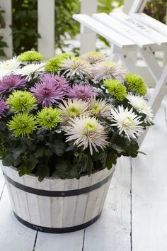 """If you would be happy for a lifetime, grow Chrysanthemums!"" , an old Chinese philosopher once said and a phrase that says a lot about this wonderful flower. In a word, a strong and special plant for the home as well as the patio!"