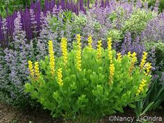 Baptisia sphaerocarpa 'Screaming Yellow' with Nepeta 'Walker's Low', Cornus sericea 'Silver and Gold', and Salvia 'Caradonna'