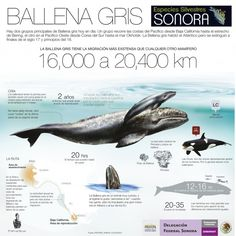 BALLENA GRIS (gray whale) Infographic