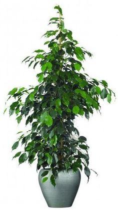 Τα 8 καλύτερα φυτά εσωτερικού χώρου!   exypnes-idees.gr Ficus, Green Plants, Home And Garden, Healthy, Number, Future, Vases, Desk, Future Tense