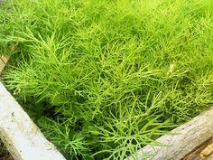 Mararul este un elixir al tineretii, feminitatii si frumusetii, se spune. Imi place foarte mult sa condimentez salata de rosii de vara, sau salata de varza cruda, sau cartofii taranesti , sau pasta de Home And Garden, Herbs, Plants, Garden, Seedlings, Growing, Agri