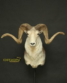 Marco Polo, Taxidermy, Sheep, Goats, Exotic, Hunting, Witch, Skull, Animals