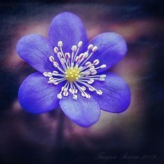 https://flic.kr/p/67vAMz | Blue Anemone. Tanjica Perovic Photography. | Anemone hepatica. This image was taken eight springs ago. :)  ~~~~~~~~~~~~~~~~~~~~~~~~~~~~~~ Take a look at my  redbubble  and society6 shops for more interesting products.  Visit my Getty images for more of my work to license.