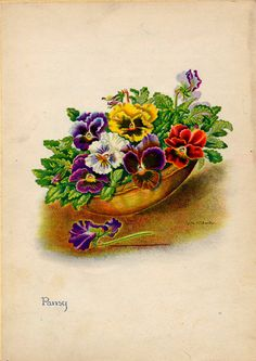 Pansy Vintage Illustration by Edith Johnston from A Book Of Garden Flowers