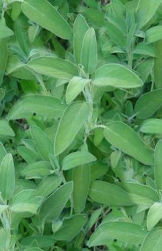 """SAGE is a staple in herbal magick. It is commonly used by magicians as a """"smudge"""", which means it cleanses and purifies, or, more practically, keeps bugs away. Wiccans and other magicians use sage to cense the sacred space, or circle. Though it is commonly used as an incense, it is also widely used in baths, especially the purification bath taken before working magick."""