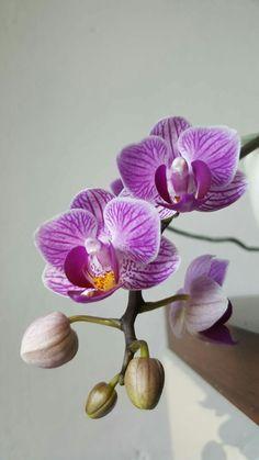 Orchidea fiori