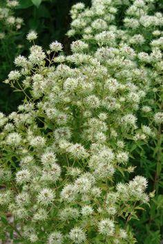 Pycnanthemum flexuosum - Appalachian Mountain Mint