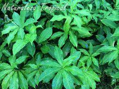Vista de la planta ornamental y medicinal, Costus pictus (caña mexicana)